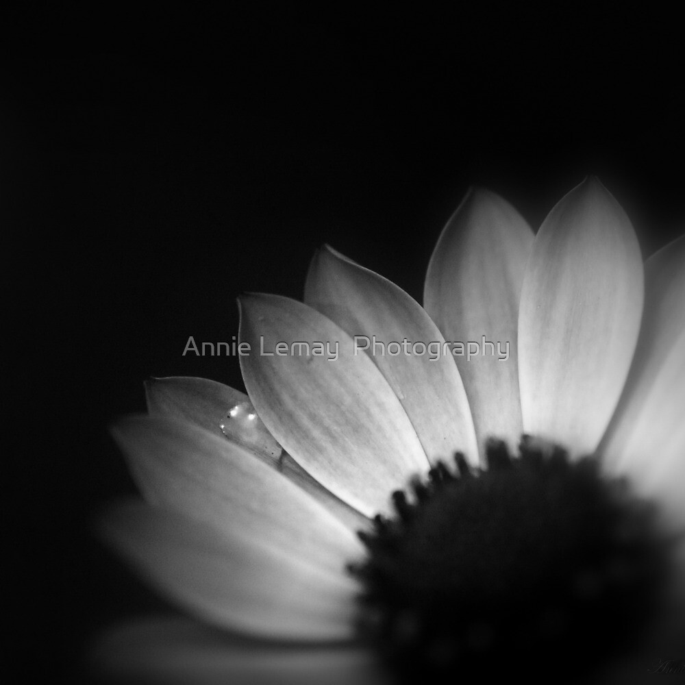 Anemone 2 by Annie Lemay  Photography