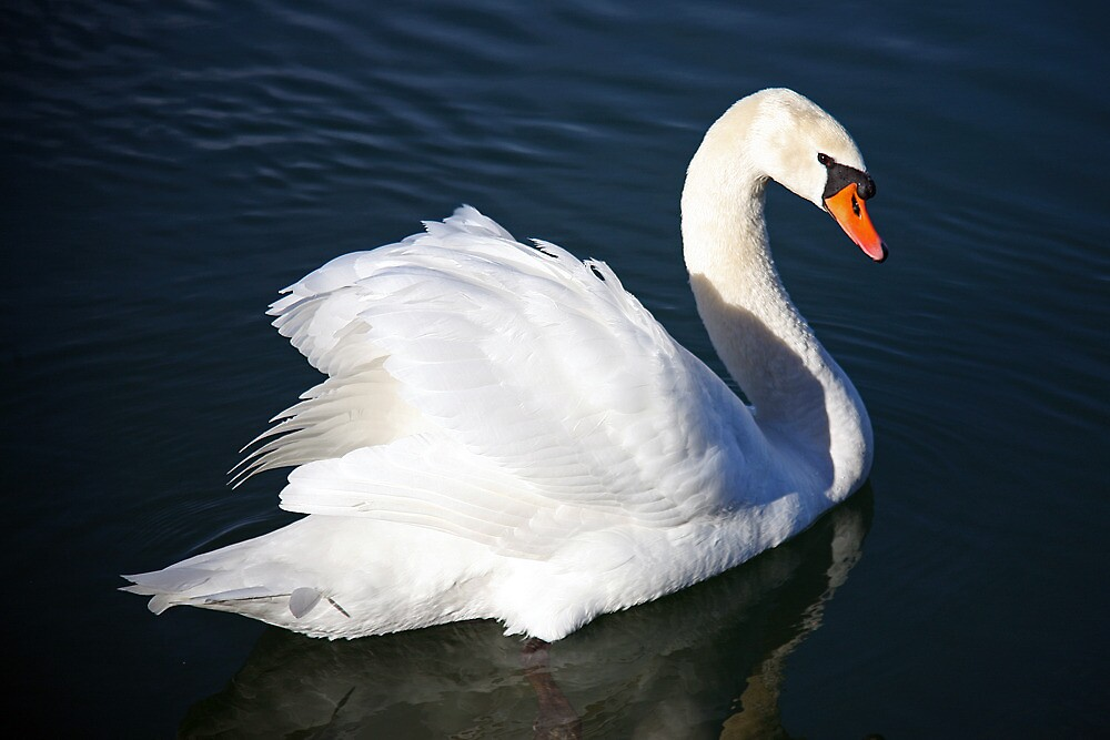 Loisach swan by MelliCaster