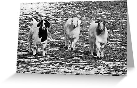 Three Goats B&W by Mary Carol Story