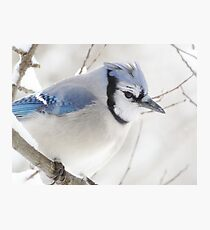 Not Another Blue Jay!!!! Photographic Print