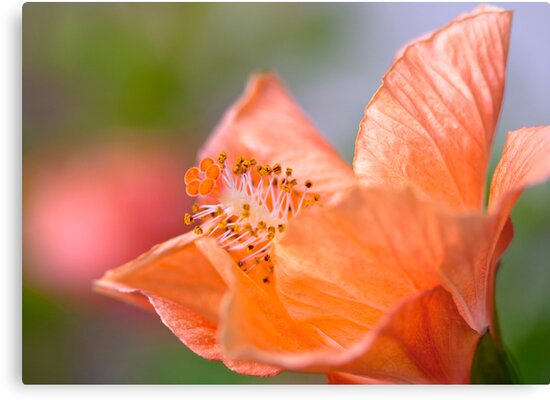 Soft Orange Hibiscus by jayneeldred