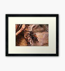RED KNEE SPIDER  Framed Print