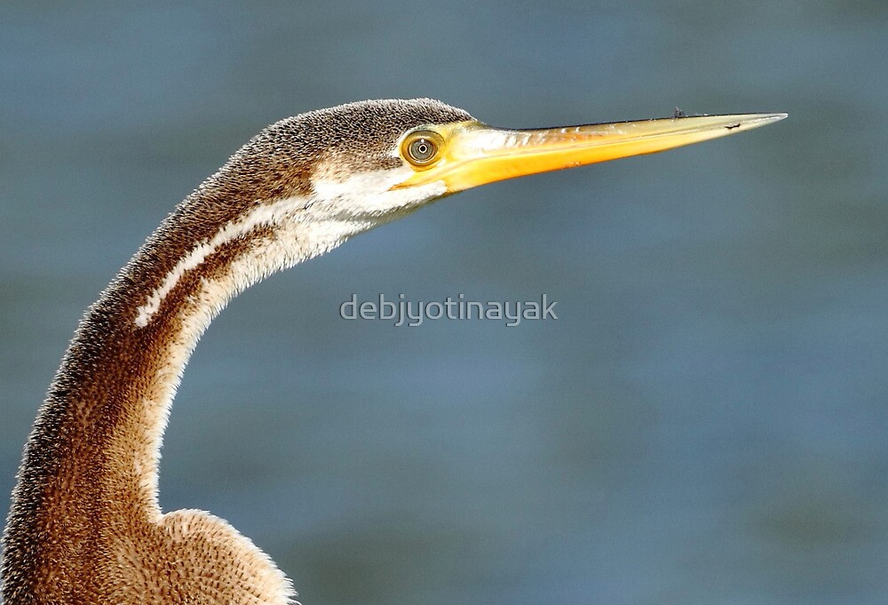 """Eye of the Darter (Snake Bird)"" by debjyotinayak"
