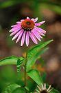 Echinacia purpurea 2 by John Velocci