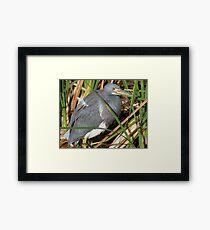 Tri color Heron Framed Print