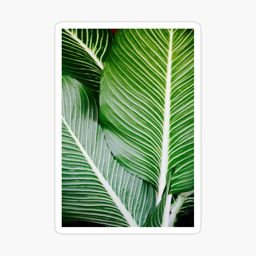 Palm Leaf Wall Art Tropical Leaf Prints Printable Leaf Green Leaf Print Tropical Leaves Art Palm Leaf Print Palm Prints Canvas Print By Alex Artprints Redbubble Design your everyday with tropical leaves wall tapestries you'll love to hang on the wall or lay on the ground. palm leaf wall art tropical leaf prints printable leaf green leaf print tropical leaves art palm leaf print palm prints canvas print by alex artprints redbubble