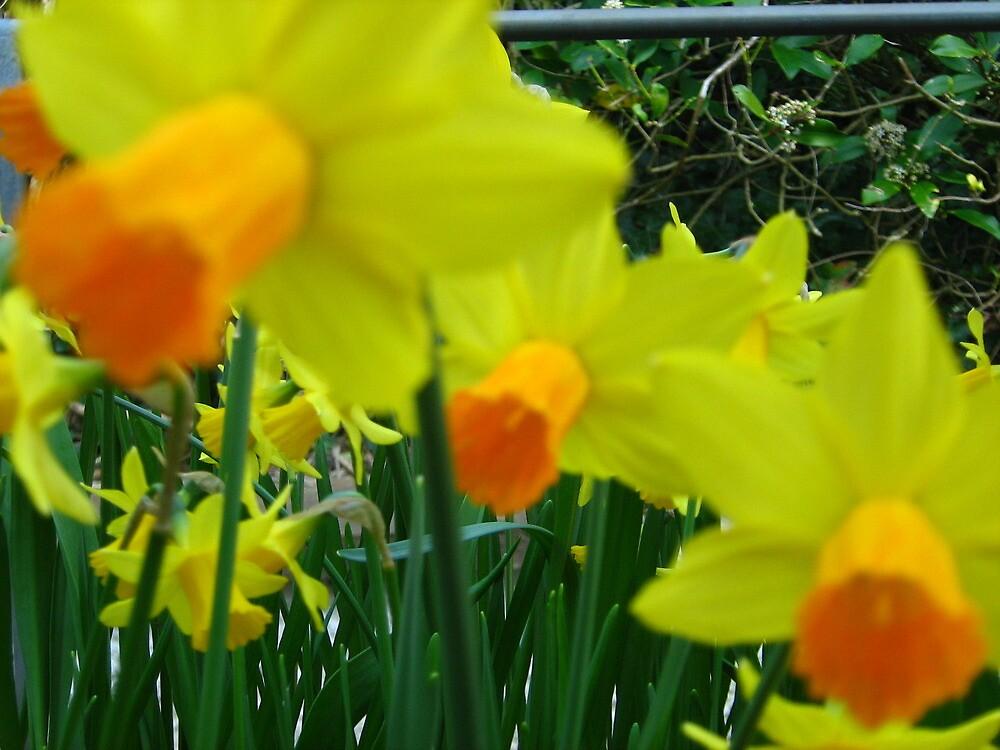 daffodils by kimmcgauley