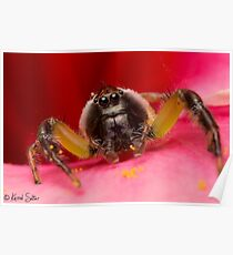 (Mopsus mormon male) Jumping Spider Poster