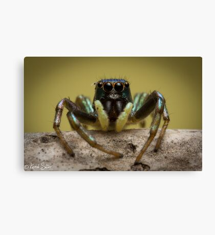 (species ZZ051) Jumping Spider Canvas Print