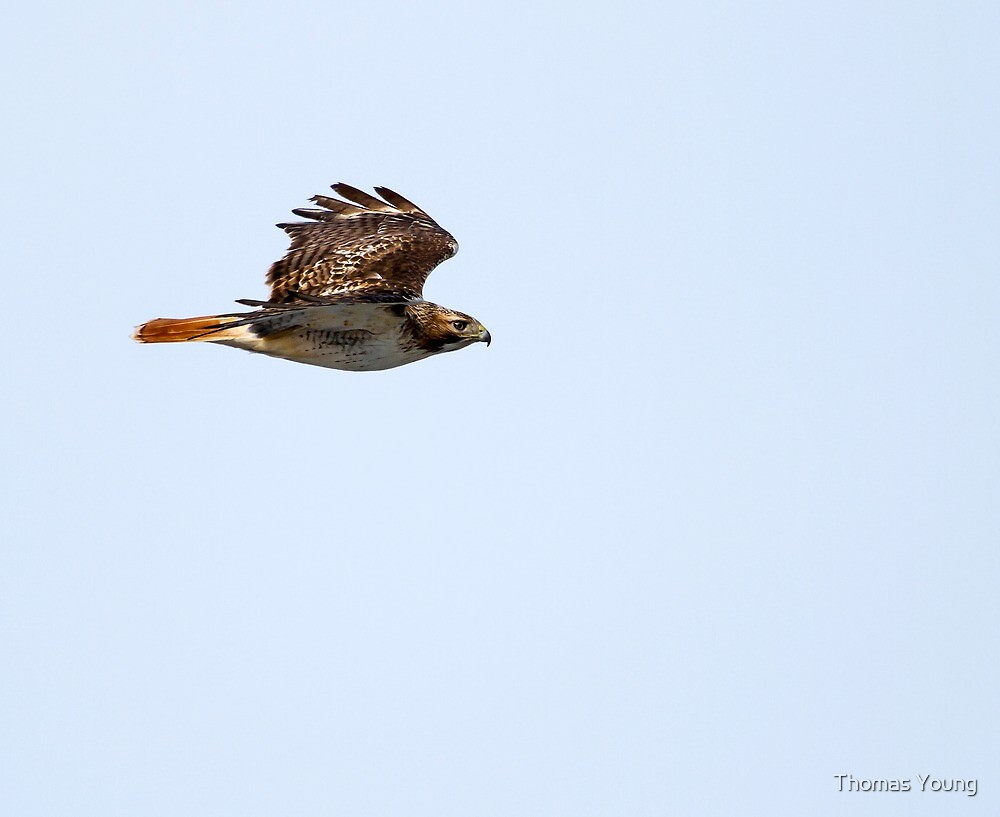 Red-tailed Hawk in Flight 1 by Thomas Young