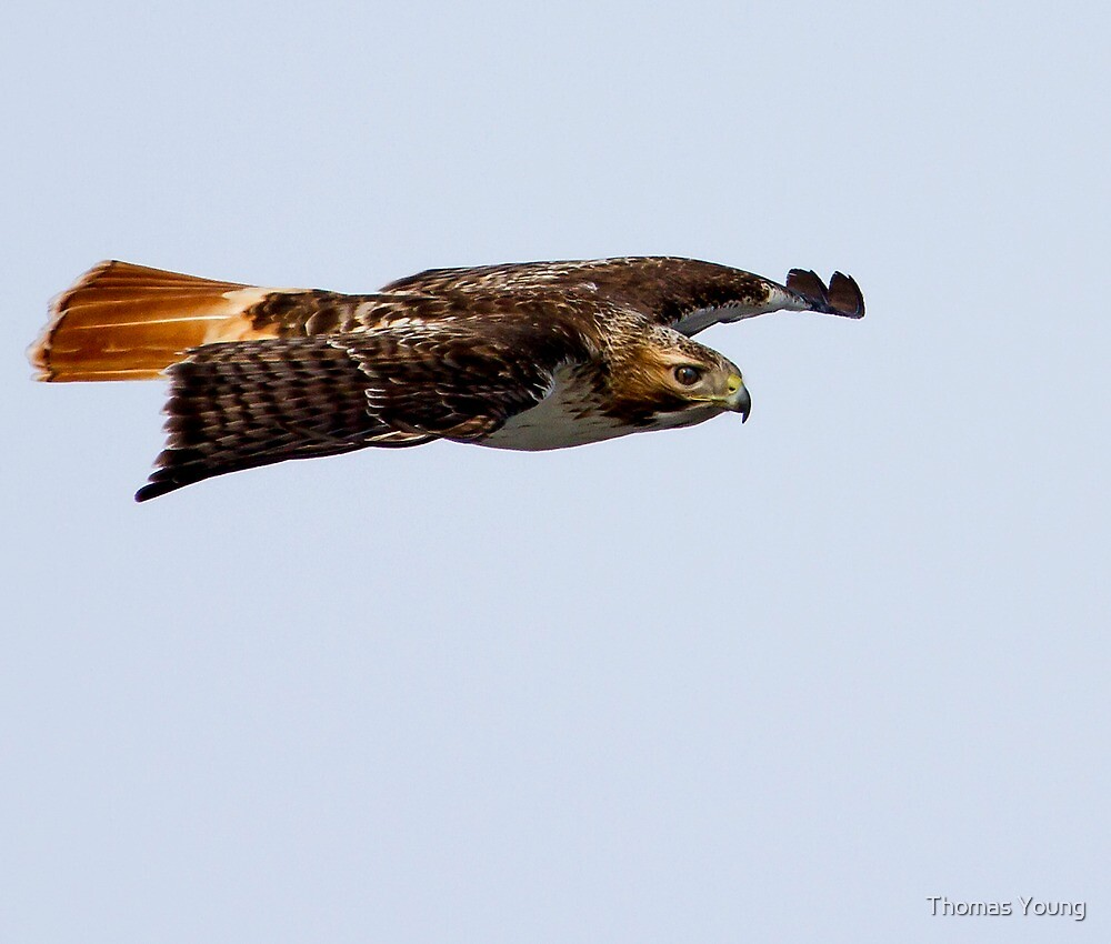 Red-tailed Hawk in Flight 2 by Thomas Young