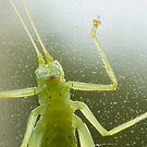 Cricket Closeup by Jim Stiles