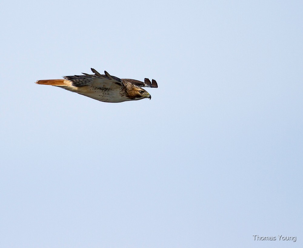 Red-tailed Hawk in Flight 3 by Thomas Young