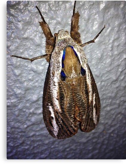 Witchetty Grub Moth by Colin  Ewington