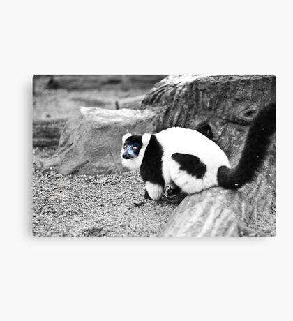 Black-and-white Ruffed Lemur Canvas Print
