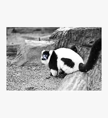 Black-and-white Ruffed Lemur Photographic Print