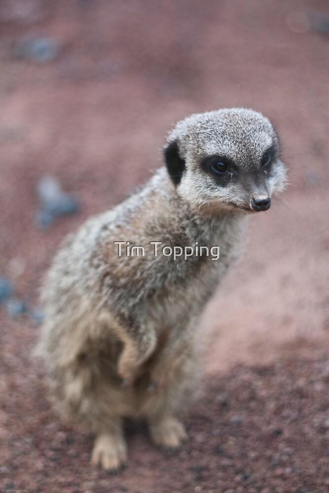Meerkat peeking by Tim Topping