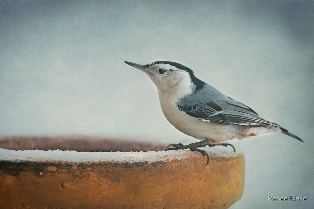 White-Breasted Nuthatch ~ by Renee Blake