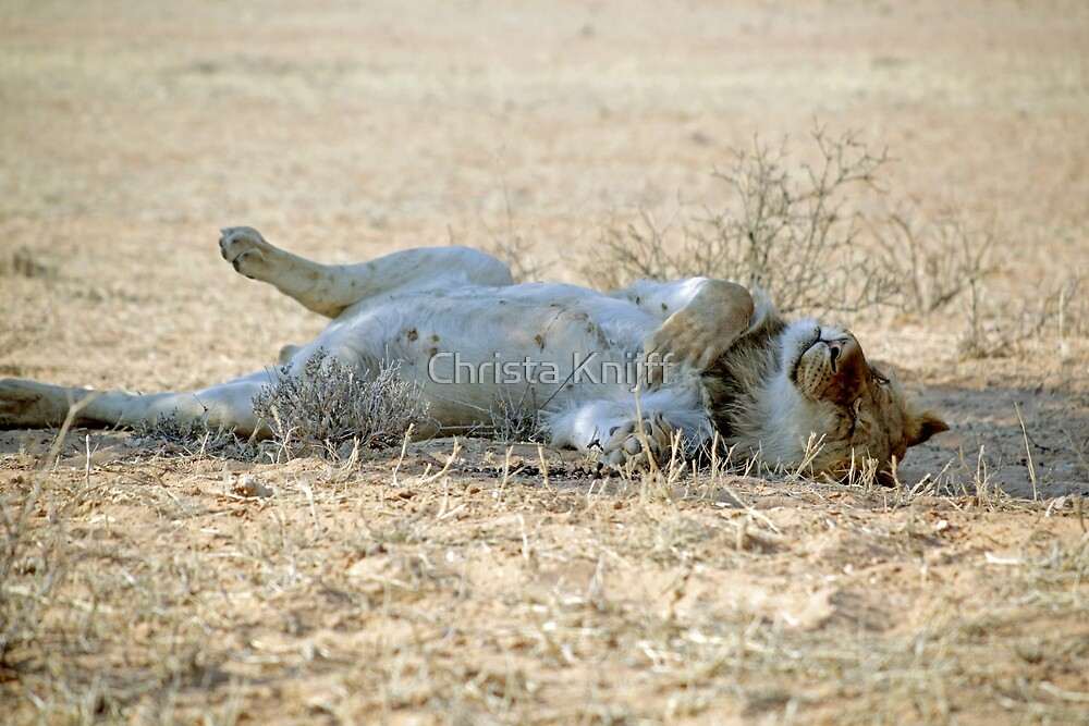 A very lazy young lion resting after a kill Kgalagadi N/P SA by Christa Knijff