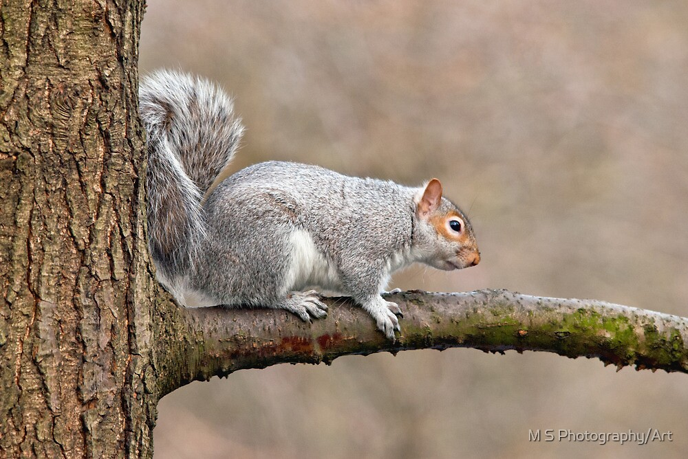 Grey Squirrel by M S Photography/Art