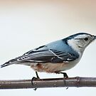 White breasted nuthatch by Penny Fawver