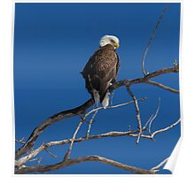 American Bald Eagle 2 Poster