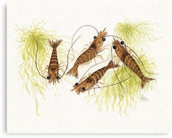 """""""Shrimp"""" by Amber Marine ~ watercolor painting, © 2013 by Amber Marine ~ Wildlife Artist"""