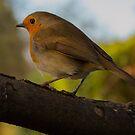 Yorkshire Robin by Phil Tinkler