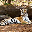 Tiger resting in the shade. by Alan Gillam