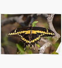 Giant Swallowtail in the Rio Grande River Valley Poster