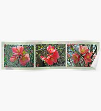 Common Flowering Quince - Chaenomeles speciosa Poster