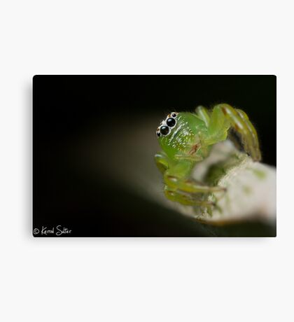 (Mopsus mormon female) Jumping Spider Canvas Print