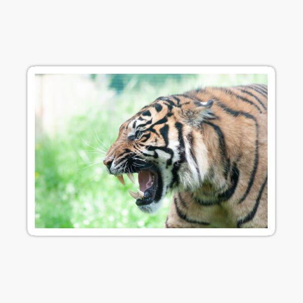 Snarling Tiger Sticker