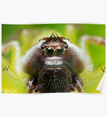 (Mopsus mormon male) Jumping Spider #2 Poster