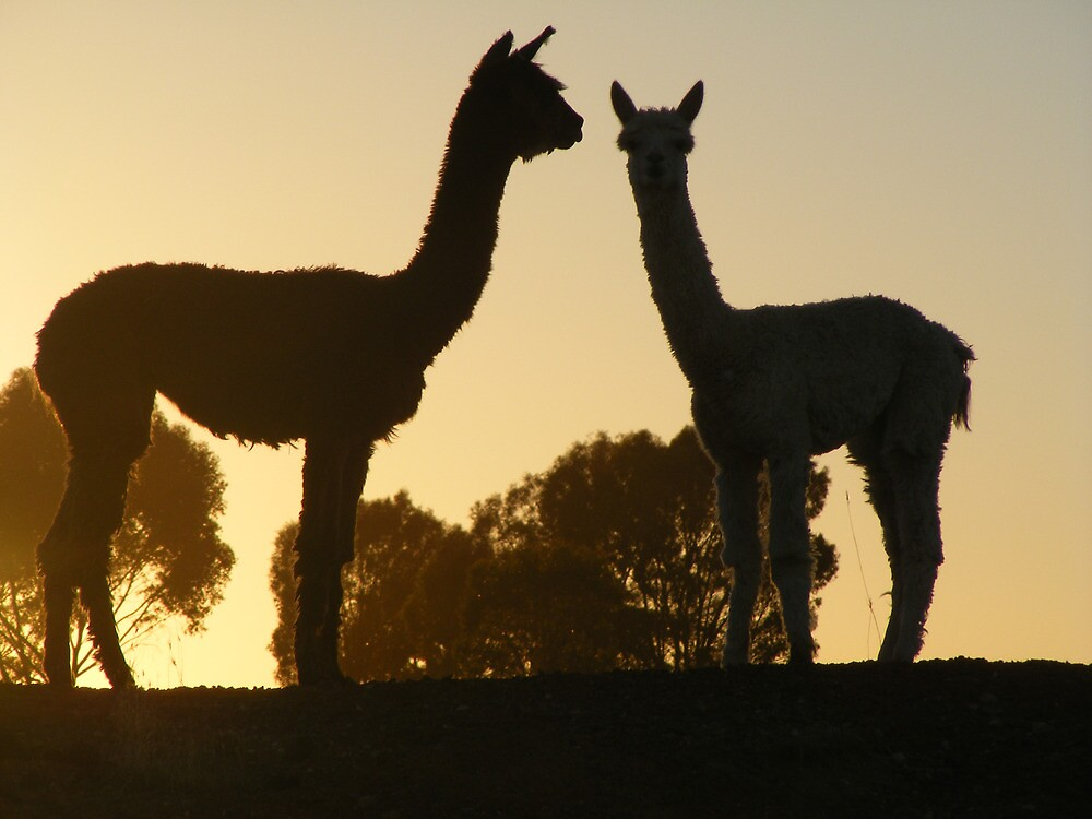 alpacas by Russell Voigt