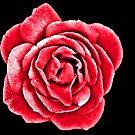 Pink Rose by Karen Fitzsimons