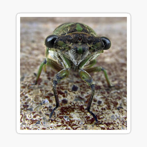 Cicada face Sticker