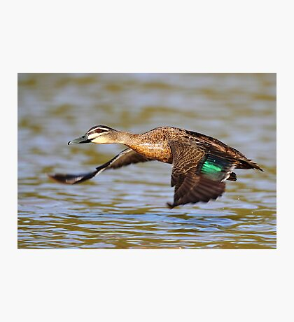 """Flying Duck"" Photographic Print"