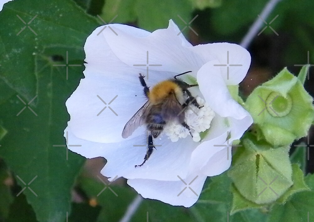 Busy Bee on a white flower by LoneAngel