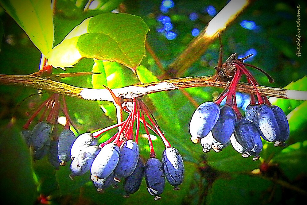 Berries by thepicturedrome