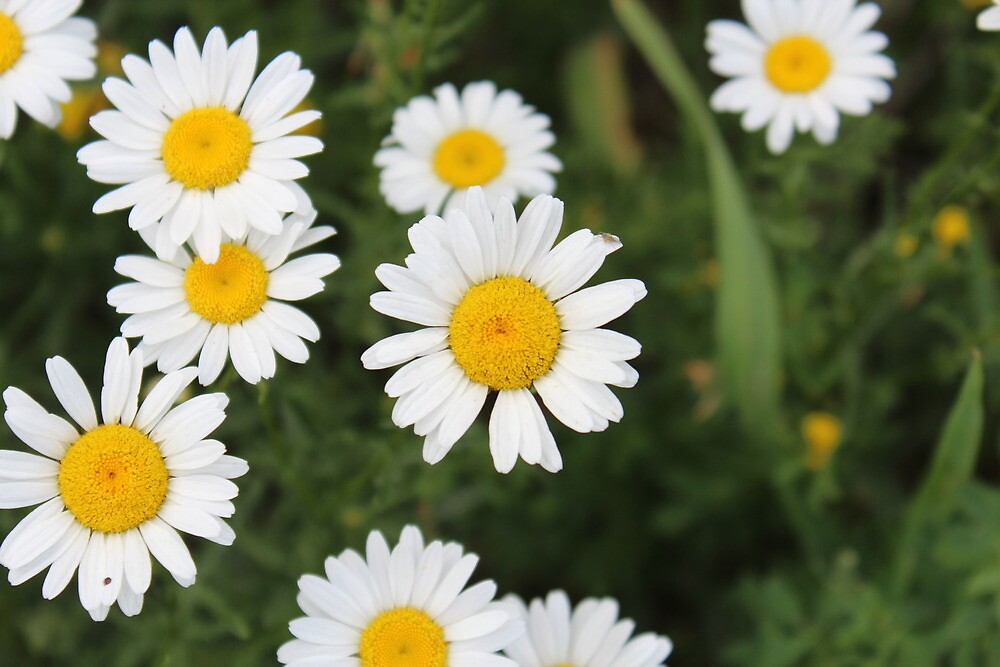 daisies by owllover01