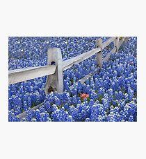 Texas Bluebonnets surround an Indian Paintbrush Photographic Print