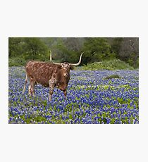 Texas Longhorn in a field of Bluebonnets Photographic Print