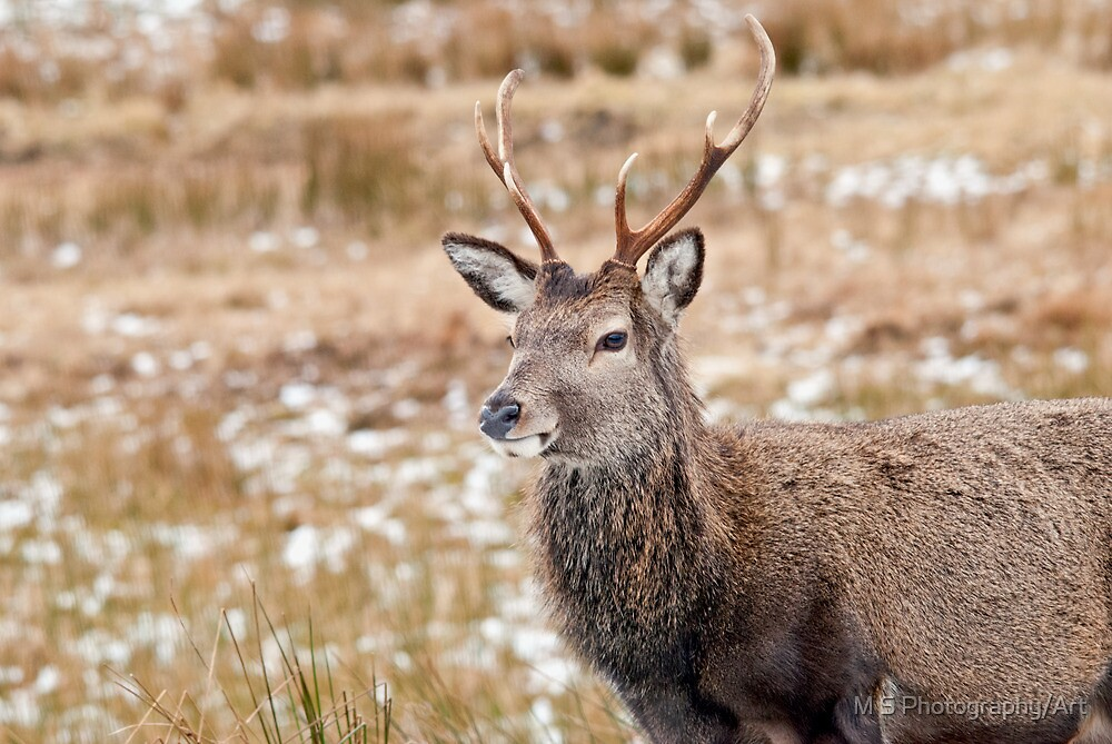 Red Deer Stag by M S Photography/Art