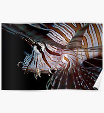 Young Lionfish Poster