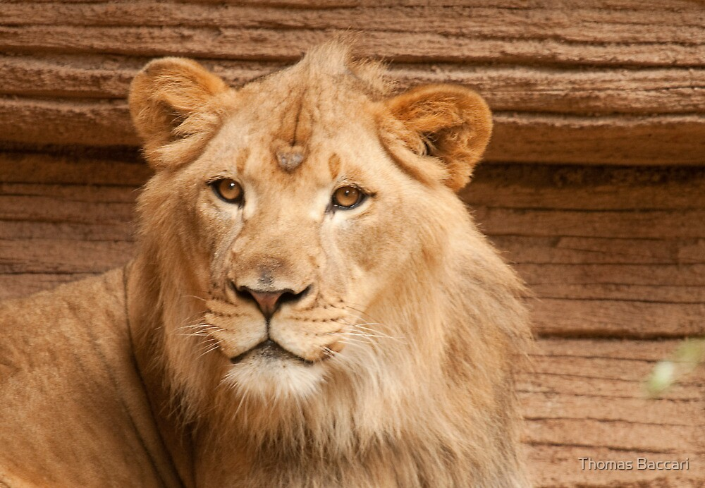 YOUNG MALE LION by TJ Baccari Photography
