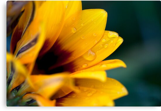 Gazania with Droplets by jayneeldred