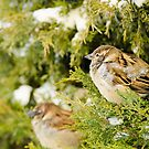 Two in a bush! by vasu