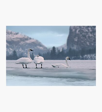 Trumpeters on Swan Lake  Photographic Print