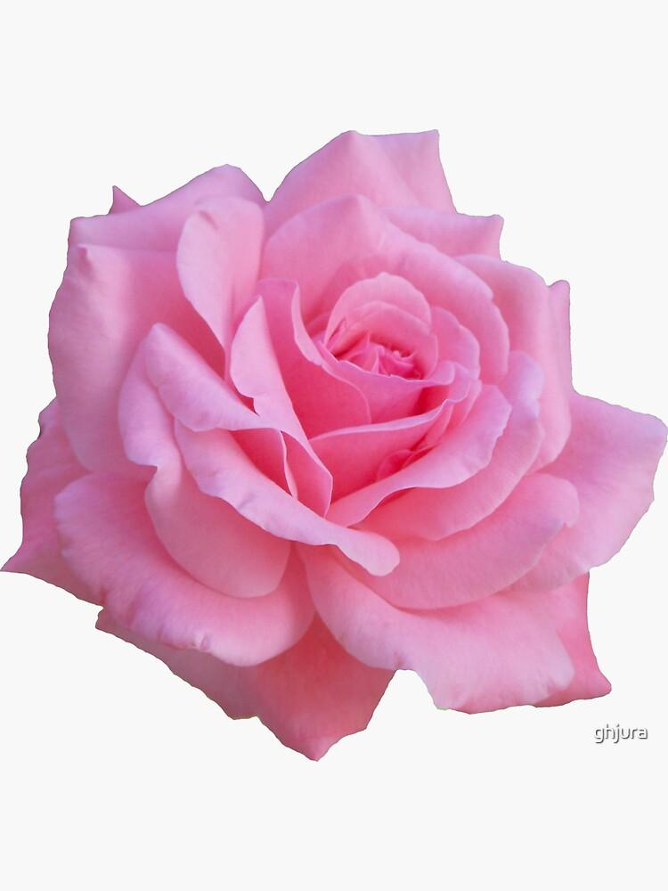 Pinke Rose von ghjura